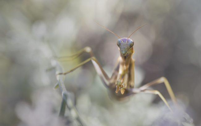 Animaux, Faune & Flore (Autre), Insectes, Mante Religieuse