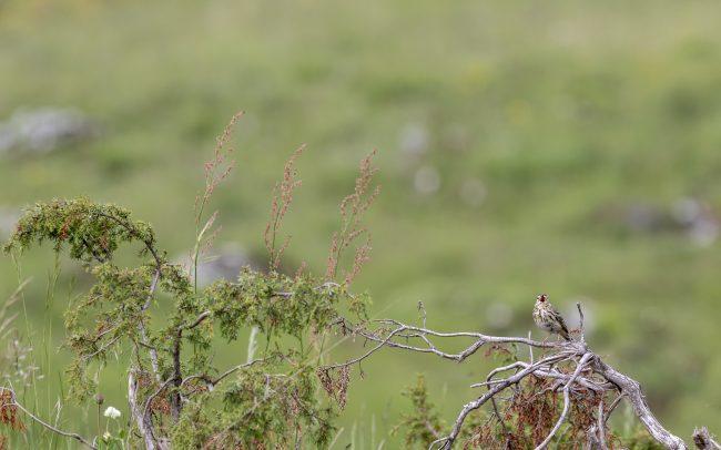 Aves, Birds, Bruant proyer, Corn Bunting, Emberiza calandra, Emberizidae, Emberizidés, Faune, Oiseaux, Passériformes