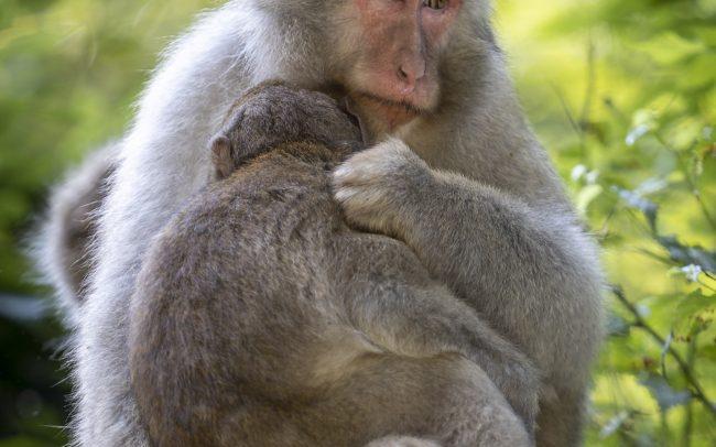 Cercopithécidés, Faune, Macaque japonais, Mammalia, Mammals, Mammifères