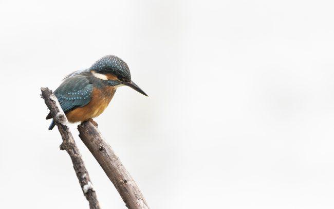 Alcedo atthis, Alcédinidae, Alcédinidés, Aves, Birds, Common Kingfisher, Coraciiformes, Faune, Martin-pêcheur d'Europe, Oiseaux