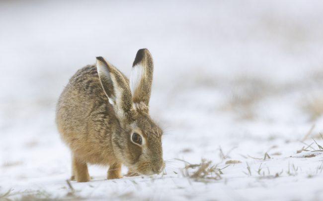 Brown Hare, Faune, Lagomorpha, Lagomorphes, Leporidae, Leporidés, Lepus europaeus, Lièvre d'Europe, Mammalia, Mammals, Mammifères