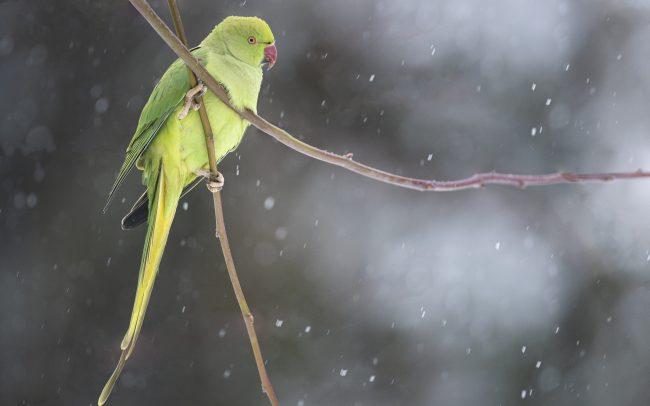 Aves, Birds, Faune, Oiseaux, Perruche à collier, Psittacidae, Psittacidés, Psittaciformes, Psittacula krameri, Rose-ringed Parakeet