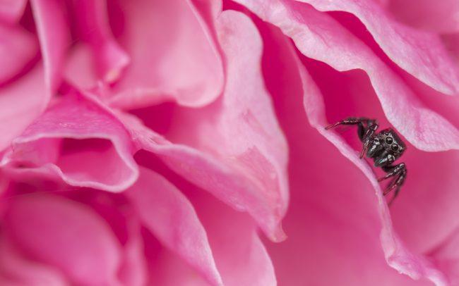 Animaux, Araignée, Carrhotus Xanthogramma, Faune & Flore (Autre), Fleur, Fleurs, Insectes, Rose