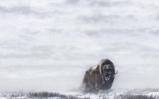 Artiodactyla, Artiodactyles, Boeuf musqué, Bovidae, Bovidés, Concept, Faune, Mammalia, Mammals, Mammifères, Muskox, Neige, Ovibos moschatus