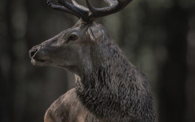 Artiodactyla, Artiodactyles, Cerf élaphe, Cervidae, Cervidés, Cervus elaphus, Faune, Mammalia, Mammals, Mammifères, Red Deer