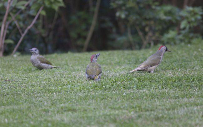 Aves, Birds, European Green Woodpecker, Faune, Oiseaux, Pic vert, Picidae, Picidés, Piciformes, Picus viridis