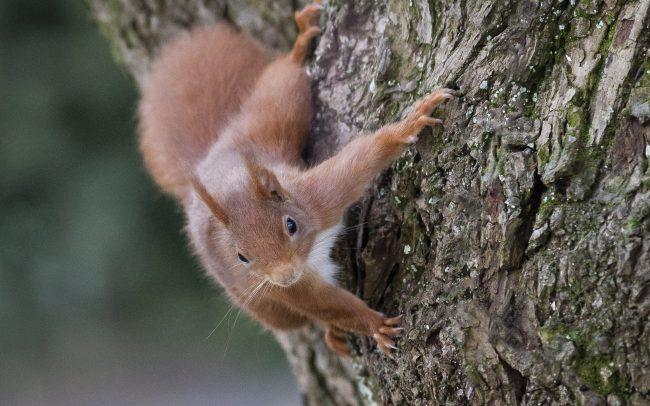 Ecureuil, Ecureuil roux, Eurasian Red Squirrel, Faune, Mammalia, Mammals, Mammifères, Rodentia, Rongeurs, Sciuridae, Sciuridés, Sciurus vulgaris