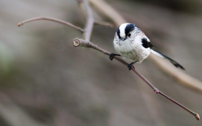 Aegithalidae, Aegithalidés, Aegithalos caudatus, Aves, Birds, Faune, Long-tailed Tit, Mésange à longue queue, Oiseaux, Passériformes