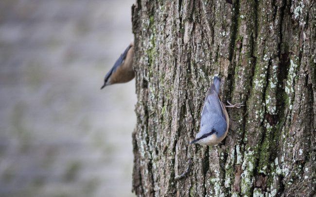Aves, Birds, Eurasian Nuthatch, Faune, Oiseaux, Passériformes, Sitta europaea, Sittelle torchepot, Sittidae, Sittidés