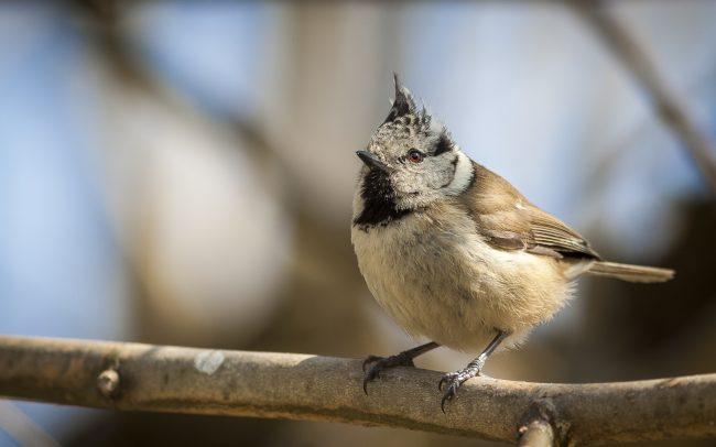 Aves, Birds, European Crested Tit, Faune, Lophophanes cristatus, Mésange huppée, Oiseaux, Paridae, Paridés, Passériformes