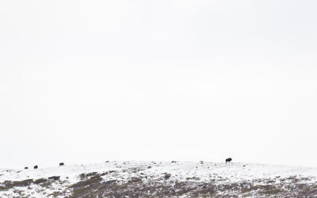 Artiodactyla, Artiodactyles, Boeuf musqué, Bovidae, Bovidés, Concept, Faune, Mammalia, Mammals, Mammifères, Montagne, Muskox, Neige, Ovibos moschatus, Paysage