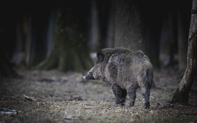 Artiodactyla, Artiodactyles, Faune, Mammalia, Mammals, Mammifères, Sanglier, Suidae, Suidés, Sus scrofa, Wild Boar