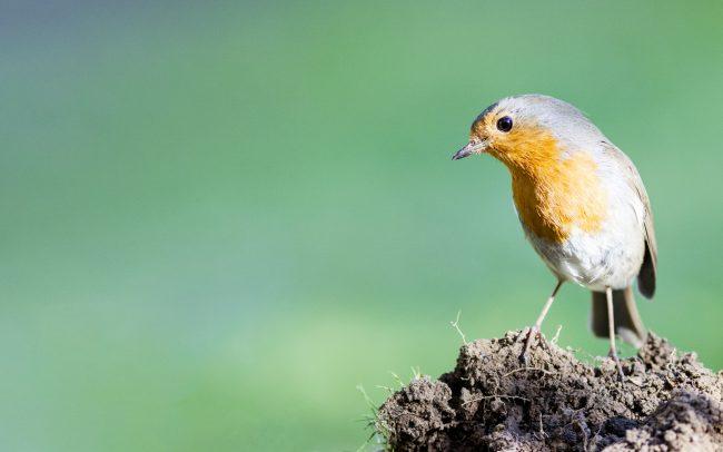 Aves, Birds, Erithacus rubecula, European Robin, Faune, Muscicapidae, Muscicapidés, Oiseaux, Passériformes, Rougegorge familier