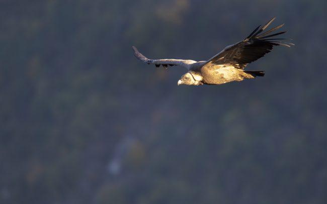 Accipitridae, Accipitridés, Accipitriformes, Aves, Birds, Faune, Griffon Vulture, Gyps fulvus, Oiseaux, Vautour fauve