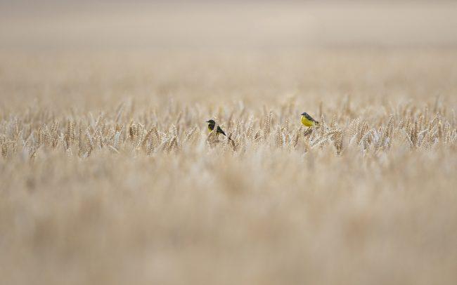 Aves, Bergeronnette printanière, Birds, Blé, Champs, Faune, Faune & Flore (Autre), Motacilla flava, Motacillidae, Motacillidés, Oiseaux, Passériformes, Paysage, Western Yellow Wagtail