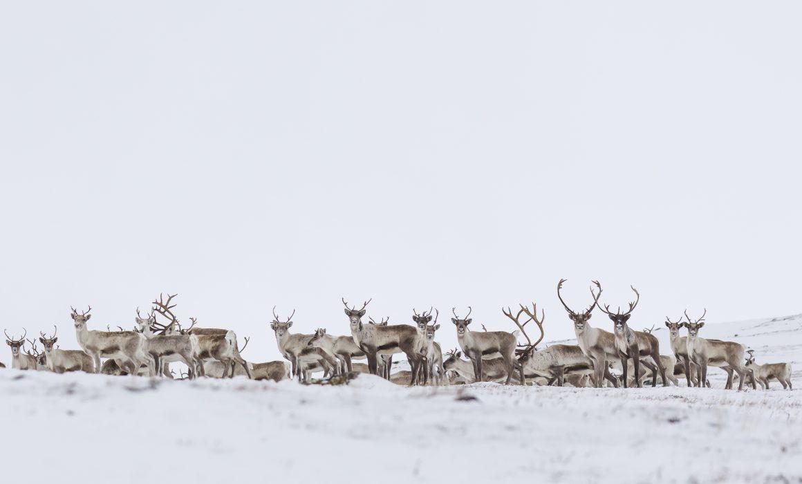 Artiodactyla, Artiodactyles, Caribou, Cervidae, Cervidés, Concept, Faune, Mammalia, Mammals, Mammifères, Neige, Rangifer tarandus, Reindeer, Renne