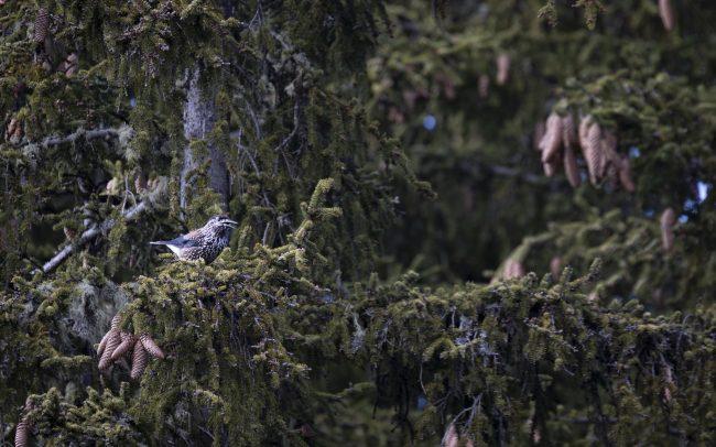 Aves, Birds, Cassenoix moucheté, Corvidae, Corvidés, Faune, Montagne, Nucifraga caryocatactes, Oiseaux, Passériformes, Paysage, Spotted Nutcracker