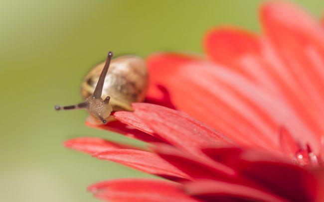Animaux, Escargot, Faune & Flore (Autre), Fleur, Fleurs, Gerbera