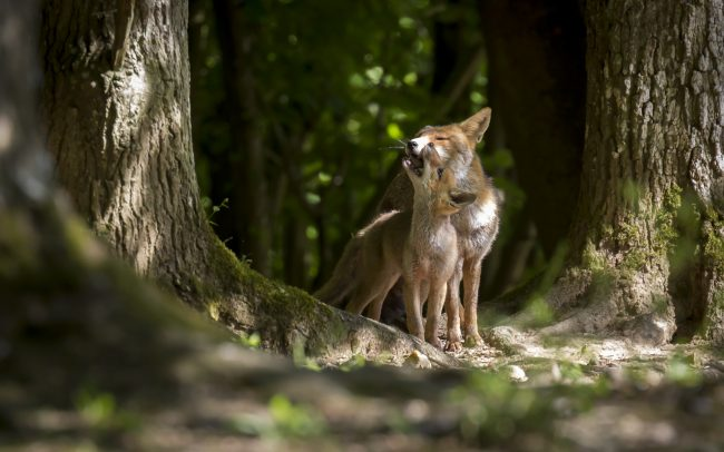 Canidae, Canidés, Carnivora, Carnivores, Faune, Mammalia, Mammals, Mammifères, Red Fox, Renard roux, Vulpes vulpes