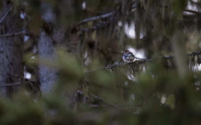 Aves, Birds, Common Chaffinch, Faune, Fringilla coelebs, Fringillidae, Fringillidés, Montagne, Oiseaux, Passériformes, Paysage, Pinson des arbres