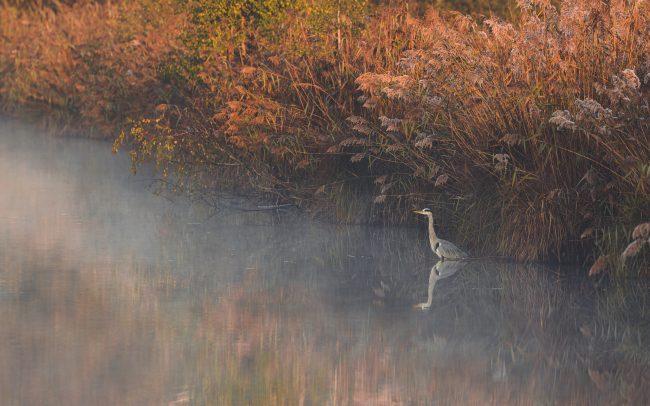 Ardea cinerea, Ardéidae, Ardéidés, Aves, Birds, Faune, Grey Heron, Héron cendré, Oiseaux, Pélécaniformes