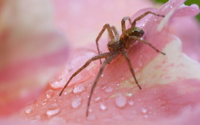 Animaux, Araignée, Faune & Flore (Autre), Fleur, Fleurs, Insectes, Rose