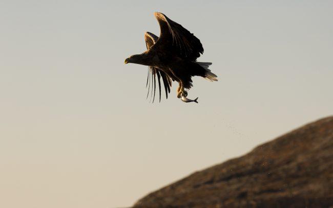 Accipitridae, Accipitridés, Accipitriformes, Aves, Birds, Faune, Haliaeetus albicilla, Oiseaux, Pygargue à queue blanche, White-tailed Eagle
