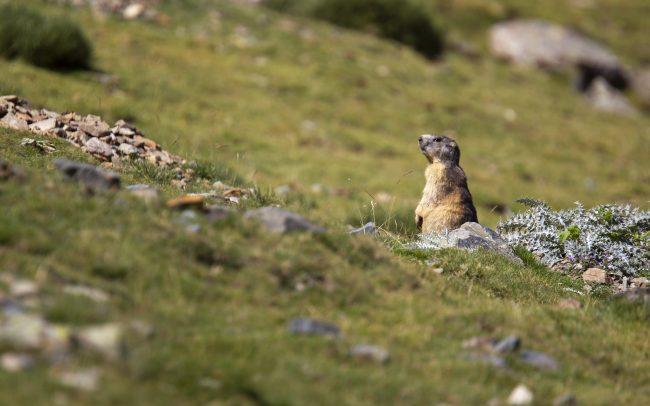 Alpine Marmot, Faune, Mammalia, Mammals, Mammifères, Marmota marmota, Marmotte, Marmotte des Alpes, Montagne, Paysage, Rodentia, Rongeurs, Sciuridae, Sciuridés