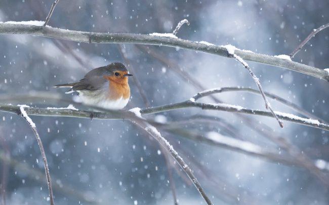 Aves, Birds, Concept, Erithacus rubecula, European Robin, Faune, Muscicapidae, Muscicapidés, Neige, Oiseaux, Passériformes, Rougegorge familier