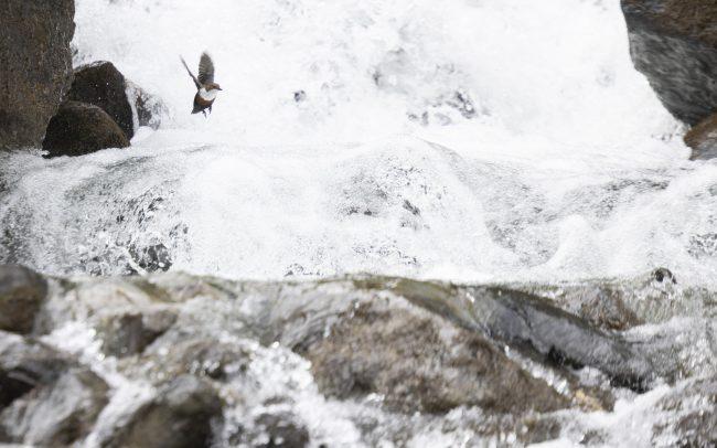 Aves, Birds, Cincle plongeur, Cinclidae, Cinclidés, Cinclus cinclus, Faune, Montagne, Oiseaux, Passériformes, Paysage, White-throated Dipper