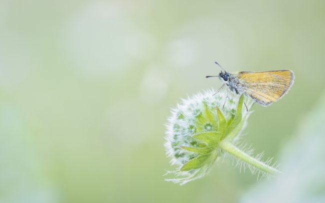 Faune, Hesperiidae, Hesperiinae, Montagne, Ochlodes sylvanus (Esper, 1777), Ochlodes venatus, Papillon de jour, Paysage, Rhopalocères, Sylvaine