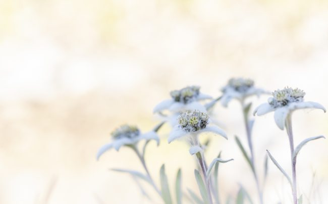 Edelweiss, Fleur, Fleurs, Montagne, Paysage