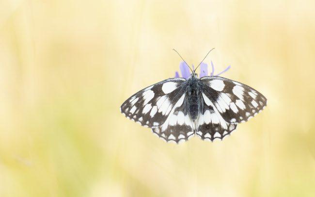 Demi-deuil, Faune, Melanargia galathea (Linnaeus, 1758), Montagne, Nymphalidae, Papillon de jour, Paysage, Rhopalocères, Satyrinae
