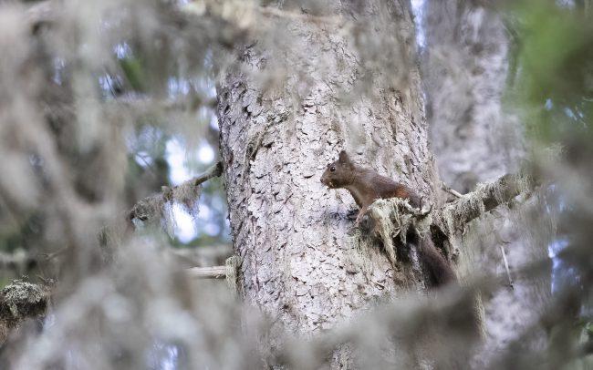 Ecureuil, Ecureuil roux, Eurasian Red Squirrel, Faune, Mammalia, Mammals, Mammifères, Montagne, Paysage, Rodentia, Rongeurs, Sciuridae, Sciuridés, Sciurus vulgaris