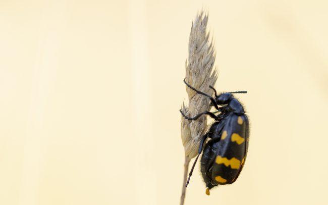Attelabus polymorphus Pallas - 1771, Coleoptera, Faune, Hycleus polymorphus (Pallas - 1771), Insectes, Meloidae, Montagne, Paysage
