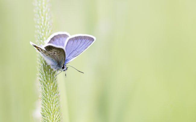 Argus bleu, Faune, Lycaenidae, Montagne, Papillon de jour, Paysage, Polyommatinae, Polyommatus icarus (Rottemburg, 1775), Rhopalocères