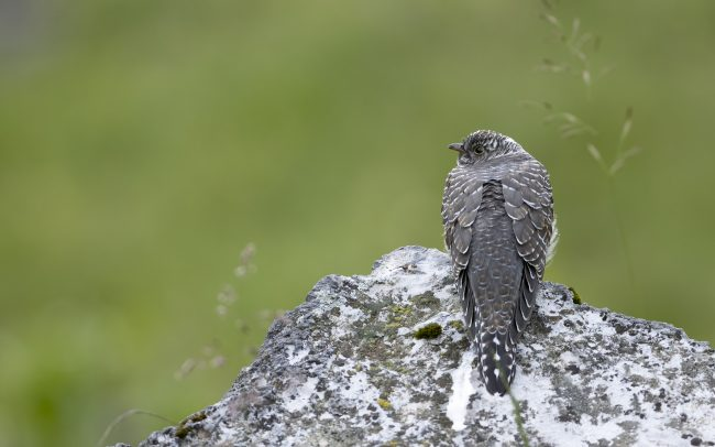 Aves, Birds, Common Cuckoo, Coucou gris, Cuculidae, Cuculidés, Cuculiformes, Cuculus canorus, Faune, Montagne, Oiseaux, Paysage