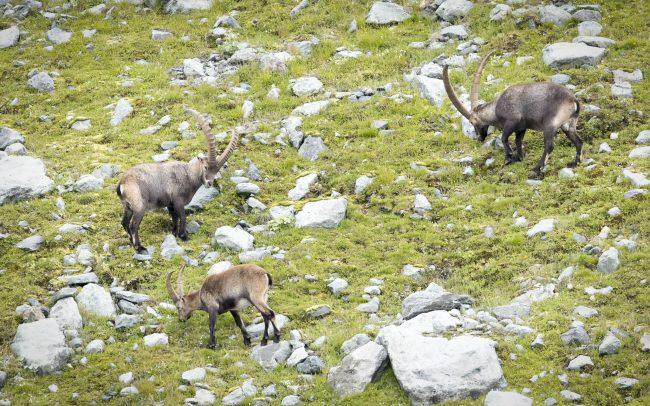 Alpine Ibex, Artiodactyla, Artiodactyles, Bouquetin, Bouquetin des Alpes, Bovidae, Bovidés, Capra ibex, Faune, Mammalia, Mammals, Mammifères, Montagne, Paysage