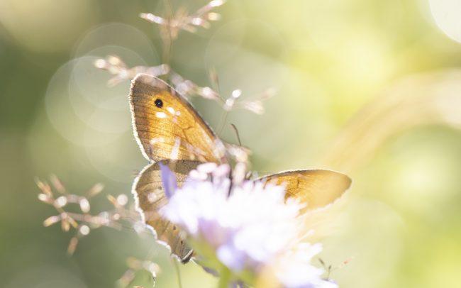 Faune, Maniola jurtina (Linnaeus, 1758), Montagne, Myrtil, Nymphalidae, Papillon de jour, Paysage, Rhopalocères, Satyrinae